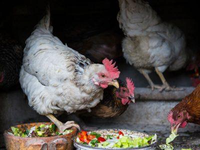 Hühner anschaffen